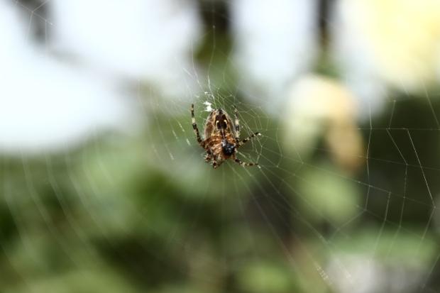 spider poo